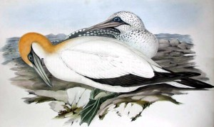 Australian Gannet John Gould, 1840-1848 hand colored lithograph from Birds of Australia, Vol. 7 (n1-a.7): plate 76 Image from Glasgow University Special Collections Department